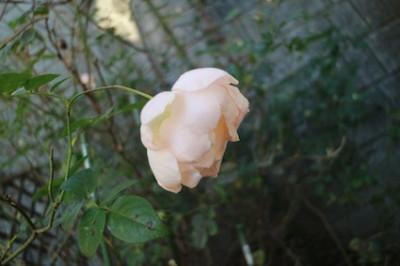 季節を勘違いして咲いている庭のバラ