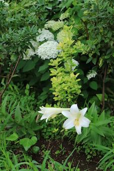 梅雨のあじさいと百合の花♡
