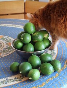 庭にできたレモンとにこちゃん。今年も大豊作!