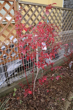 庭のブルーベリーも紅葉しています